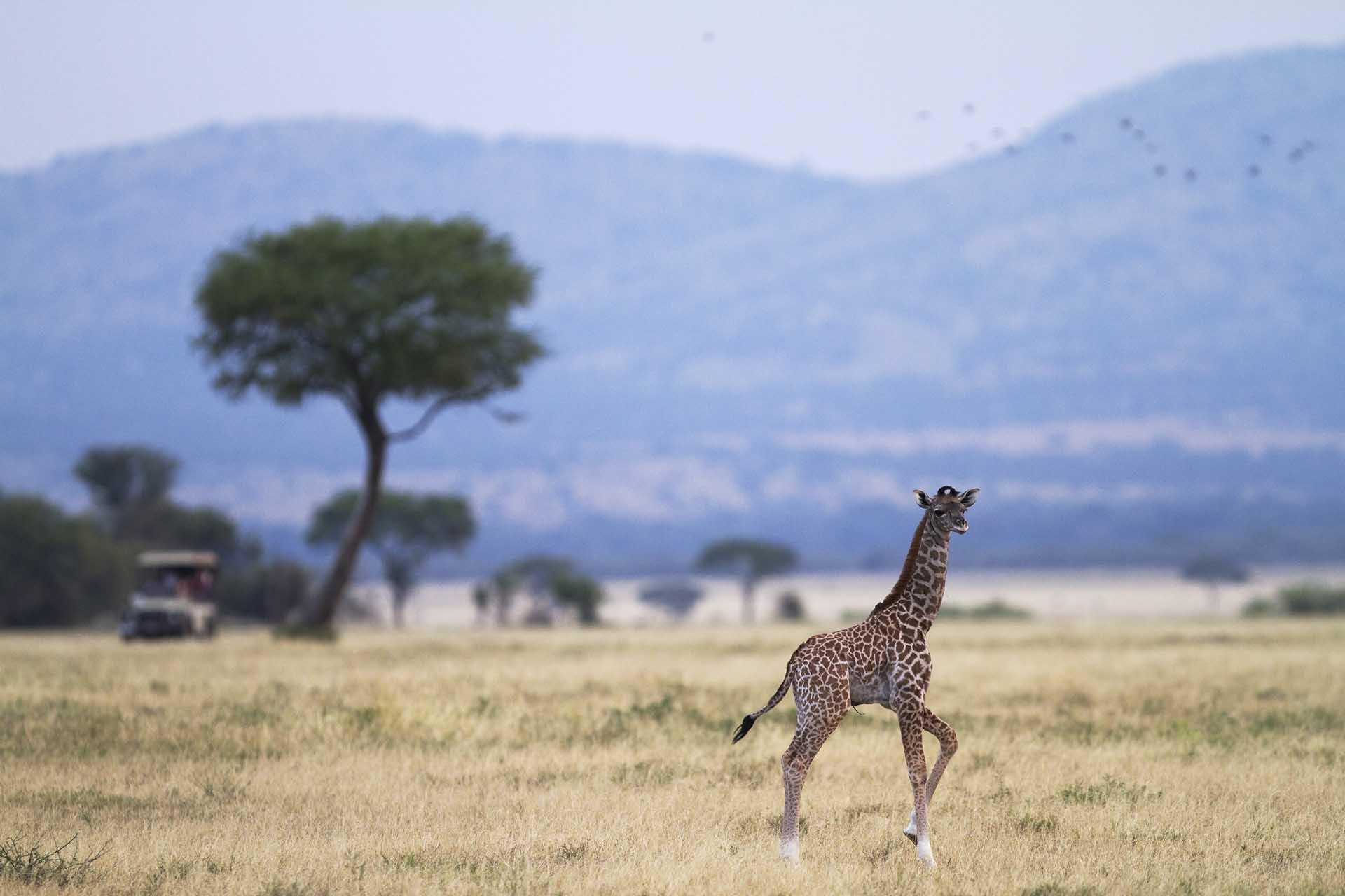 Zebra&Giraffe-032-2
