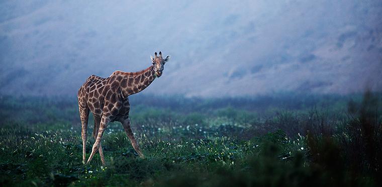 namibiaGiraffe